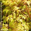 モミジ 桂(カツラモミジ) テーブルサイズ 鉢苗 落葉樹 も...
