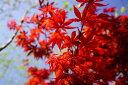 カエデ 野村モミジ 春と秋に赤い葉を楽しむ。カエデ 野村モミジ ( のむらもみじ ) 根巻き苗 ...