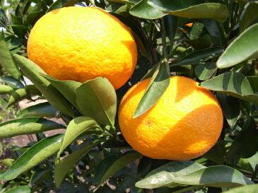 【 甘夏 (あまなつ) 】 2年生 接ぎ木 苗 柑橘 果樹 果樹苗木