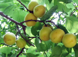 アンズ 平和あんず 香りが良い杏の木。あんずの花も美しいアンズ 苗 平和あんず 1年生 接ぎ木 ...