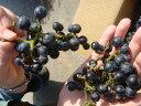栄養化の高い野生種 果樹苗木 山ぶどう(ヤマブドウ)  ウィルスフリー接木苗