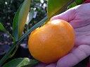 オレンジ 苗木 【 はるみ 】 2年生 接ぎ木 苗 柑橘 果樹 果樹苗木