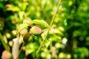 梅 苗木 甲州小梅 1年生 接ぎ木 苗 果樹 果樹苗木