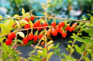 様々な料理に活用できる美容と健康の樹☆クコ 苗