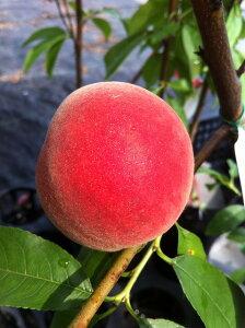 早生品種 甘くておいしい実がなります 果樹苗桃 苗 山根白桃 ( やまねはくとう ) 1年生 接ぎ...
