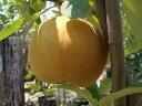 ☆夏に採れる新品種のナシ☆ 果樹苗梨 夏しずく 1年生 接ぎ木 苗 果樹苗木 果樹苗 なし