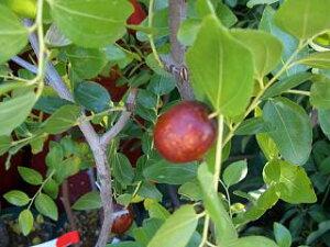 棗の木。 果樹苗 なつめ 棗 ナツメ日本ナツメ 1年生苗 果樹苗木 果樹苗