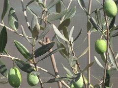 ハーブの苗 オリーブの木 J5 実付きの良い品種ハーブの苗 オリーブの木 J5(ジェイファイブ) 3年...