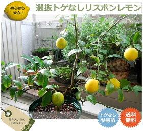 送料無料!選抜トゲナシリスボンレモン数量限定販売!