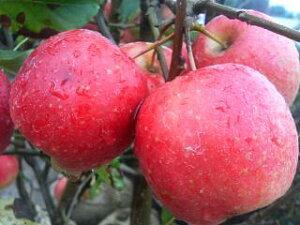 """食べてもおいしい真っ赤な姫りんご  果樹苗木 姫りんご(ヒメリンゴ) """"アルプス乙女"""" 1..."""