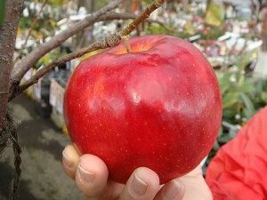 """甘さと酸味のバランスがいい 果樹苗リンゴ""""ジョナゴールド"""" 1年生 接ぎ木 苗 果樹苗木 果樹苗"""