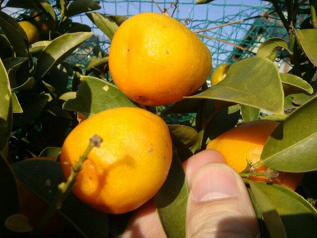 苗物, 果物の苗物  3 1.0m