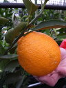 オレンジ 苗木 【 デコポン (不知火) 】 2年生 接ぎ木 苗 柑橘 果樹 果樹苗木