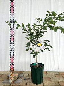 ジュース 料理におすすめ 果樹苗種無しカボス 7号スリット鉢 接ぎ木 苗 果樹苗木 果樹苗