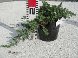 一種独特の雰囲気を作る樹形コニファー ブルーパシフィック 5号ポット苗 庭木 グランドカバー