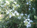 香りを楽しむグランドカバーローズマリー ハーブ 苗ハーブの苗 ローズマリー 在来種 ポット苗 ...