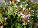 アベリア レディリバティ庭木 常緑樹 低木 新品種 明るく元気な雰囲気に生垣 目隠し グランド...