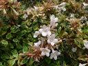 """アベリア サンシャインデイドリーム。ピンクの斑入り葉品種アベリア""""サンシャインデイドリー..."""