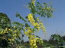 """アカシアで最も美しい花の品種アカシアの木 """"スペクタビリス""""3号ポット苗 庭木 常緑樹 シンボ..."""