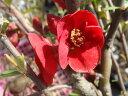 庭植え用 ボケ(赤花)ポット苗 庭木 落葉樹 低木