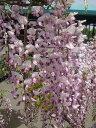 """さわやかな風に揺れる花。柔らかい色合いの桃花♪花藤(ハナフジ)""""本紅藤"""" 苗 庭木 落葉樹"""