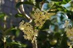 ギンモクセイ (銀木犀)根巻き苗 シンボルツリー 生垣 目隠し 庭木 常緑樹