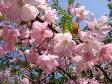 ハナカイドウ 2年生 根巻き苗 庭木 落葉樹 シンボルツリー