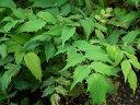 魔よけの木ヒイラギナンテン5号ポット苗木 庭木 常緑樹 グランドカバー 低木