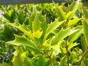 花に勝るほど美しいカラーリーフの葉色オニヒイラギ 根巻き苗 生垣 目隠し 低木 庭木 常緑樹