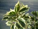 花に勝るほど美しいカラーリーフの葉色シマヒイラギ 根巻き苗 庭木 常緑樹 生垣 目隠し 低木