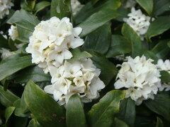 香りの素晴らしい花木ジンチョウゲ 白 庭木 常緑樹 生垣 目隠し グランドカバー 低木