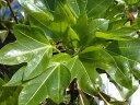 天狗が隠れる大きな葉カクレミノ4号ポット苗。 生垣 目隠し 庭木 常緑樹