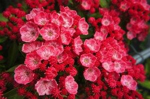 カルミア サラー 赤が一番美しい品種カルミア サラー根巻き大苗 庭木 常緑樹 低木 低木