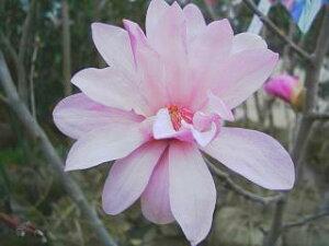 ピンク ヒメコブシ 4月のシンボルツリーピンク ヒメコブシポット苗 庭木 落葉樹 シンボルツリー