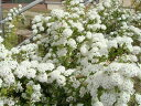 コデマリ 苗 優雅に枝垂れ咲く愛らしい白い花小手毬 ( コデマリ ) 根巻き苗 庭木 落葉樹 低木