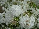 ボリュームのある愛らしい白い花八重咲き小手毬(コデマリ) ポット苗 庭木 落葉樹 低木