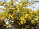 """アカシアの木 ミモザ 別名「ピュアゴールド」アカシアの木 """"ゴールデンミモザ"""" 3号ポット苗 ..."""