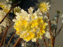 春の香りの木黄花ミツマタ(三又)根巻き苗。 庭木 落葉樹 低木