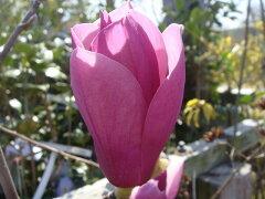 モクレン ローズレッドのマグノリア♪モクレン アレキサンドリア (赤紫花) 根巻き大苗 庭木 ...