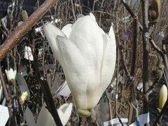 モクレン 透き通るような可憐な花モクレン スノーホワイト 白花 根巻き大苗 庭木 落葉樹 シンボ...