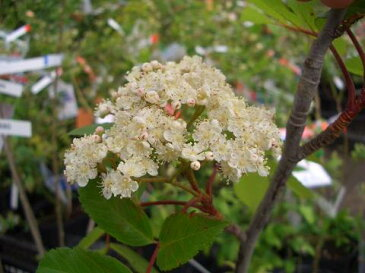 ナナカマドポット苗 庭木 落葉樹