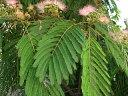 エキゾチックな葉と花ネムノキ 庭木 落葉樹 シンボルツリー