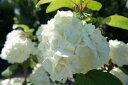 オオデマリ 手毬のように大きな白い花大手毬(オオデマリ) 庭木 落葉樹 低木