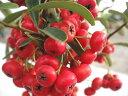 赤実がとってもカワイらしいピラカンサ ポット苗 庭木 常緑樹 生垣 目隠し グランドカバー 低木