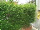 プリペット 生垣向け苗 庭木 常緑樹 生垣 目隠し 庭木 常