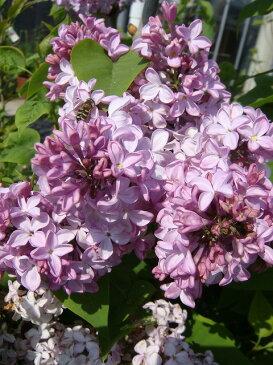 ライラック 苗 紫 品種 ライラック紫 根巻き 苗 庭木 落葉樹 シンボルツリー