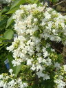 ライラック 苗 シンボルツリーとして魅力的な花木ライラック 苗 白花 品種 ライラック白 根巻き...