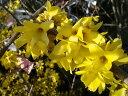 枝一面にびっしりと咲く鮮黄色の花レンギョウ ポット苗 庭木 落葉樹 低木