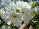 名もゆかしい茶花の銘花リキュウバイ根巻き苗 庭木 落葉樹 シンボルツリー