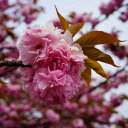 桜 苗木 さくら 八重桜 関山 ( かんざん せきやま ) 1年生 接ぎ木 苗